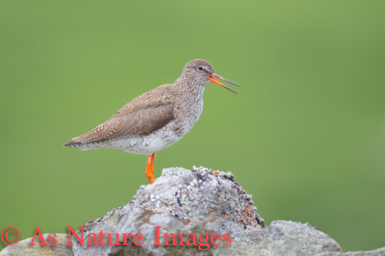 """ REDSHANK CALLING FROM DRY-STONE WALL """