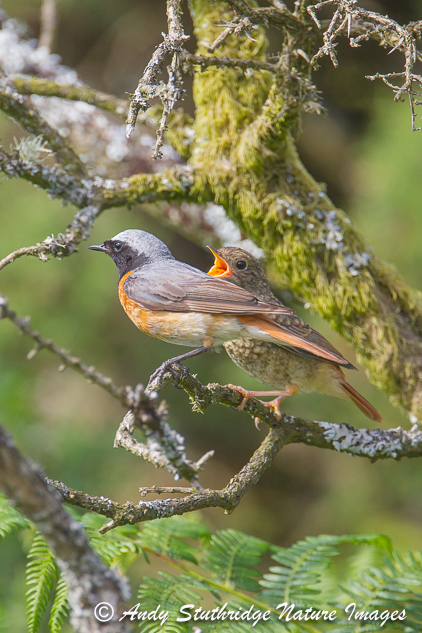Redstart Fledgeling Begging for Food from Male