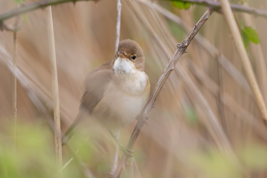 Reed warbler in Reed Bed