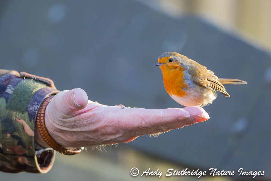 Robin Feeding From Human Hand