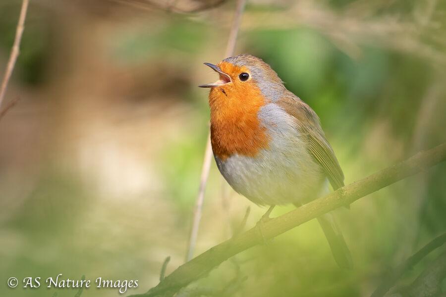 Robin Singing - 2