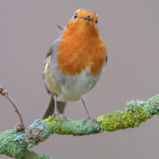 ROBIN Singing in Holly Tree