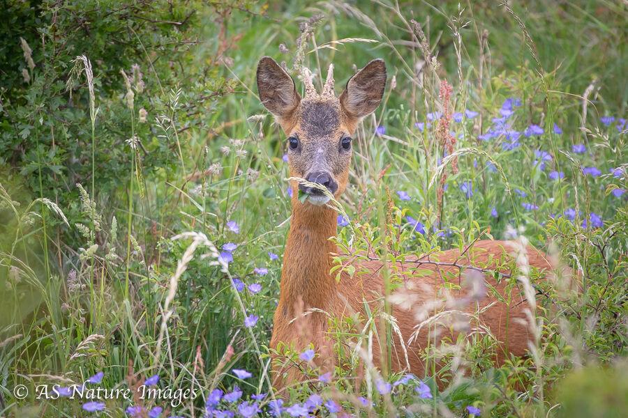 Roe Deer Buck & Spring Flowers