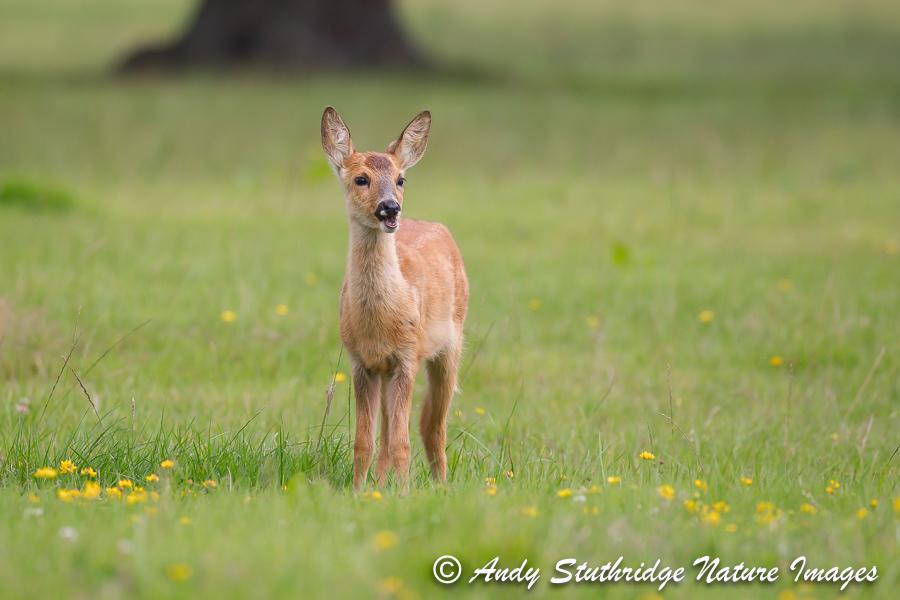 Roe Deer Kid in Field