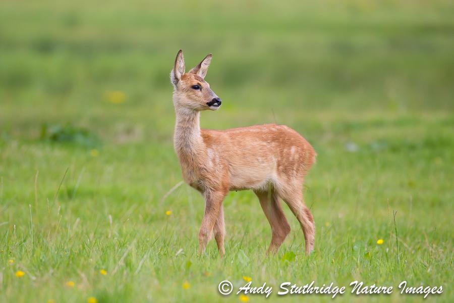 Roe Deer Kid in Field 2