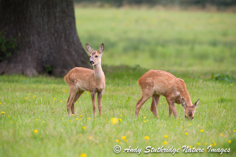 Roe Deer Kids
