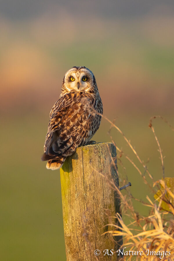 Short Earred owl on Fence Post
