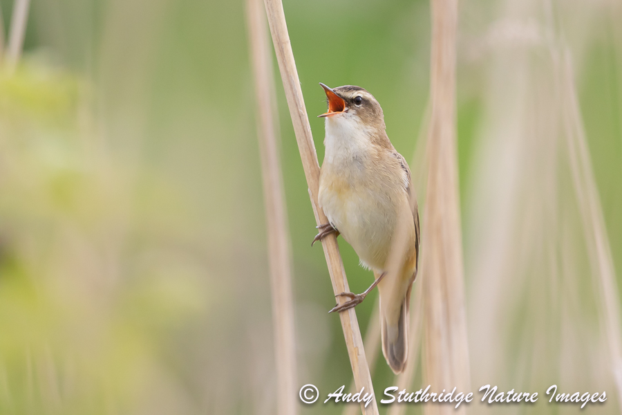 Sedge warbler Singing in Reeds
