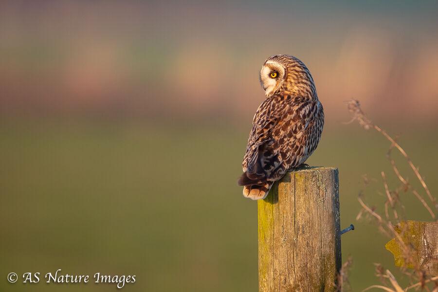 Short Earred Owl in Evening Light