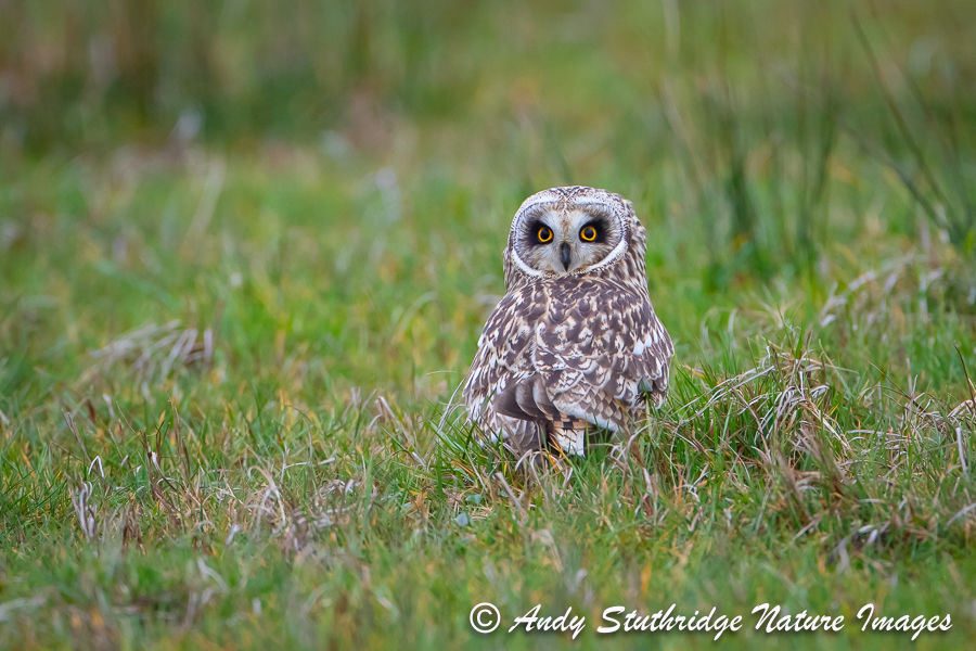 Short Earred-Owl on the Ground