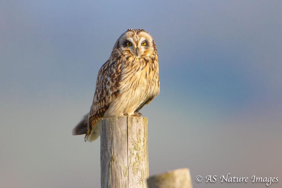Short-Eared Owl on Post