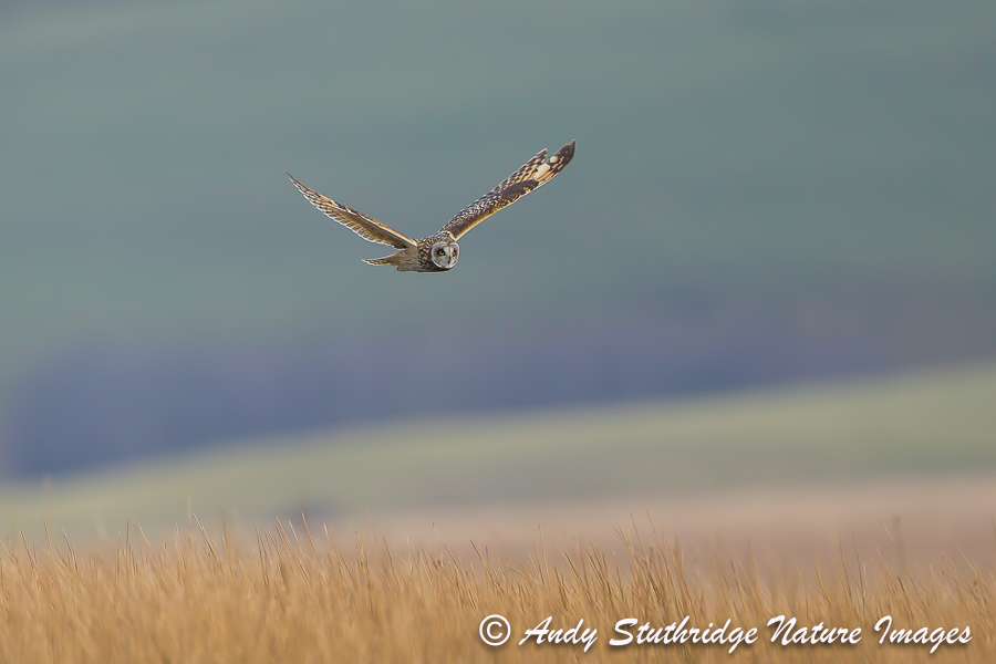 Short Earred Owl in Flight over Moorland