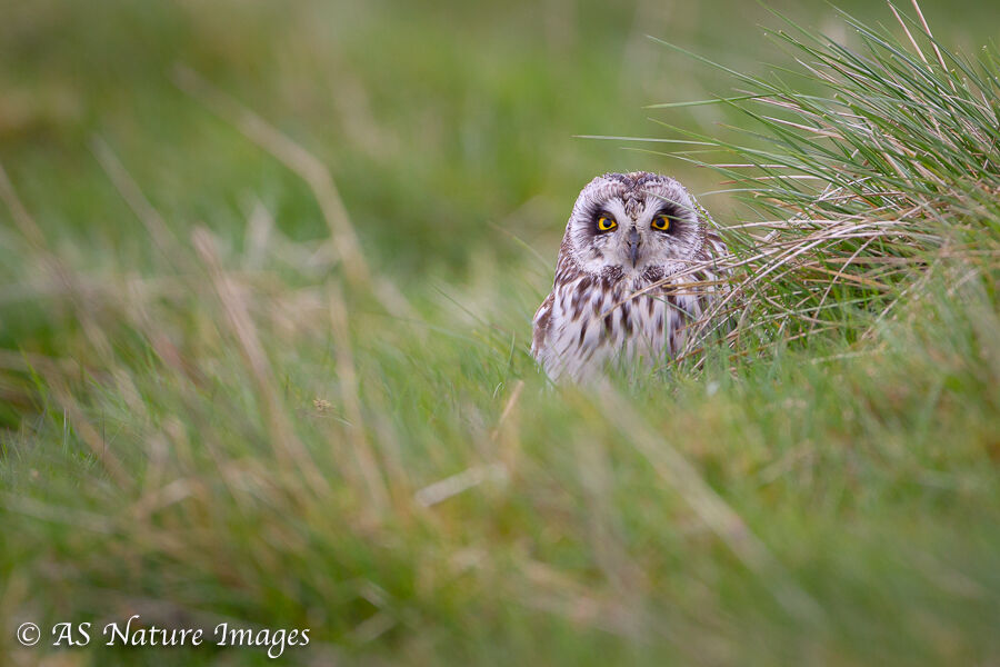 Sort Eared Owl Roosting on the Ground  2