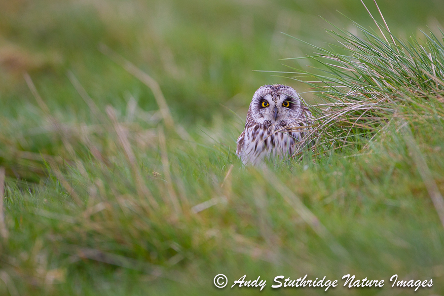 Short Earred Owl in Moorland Grass