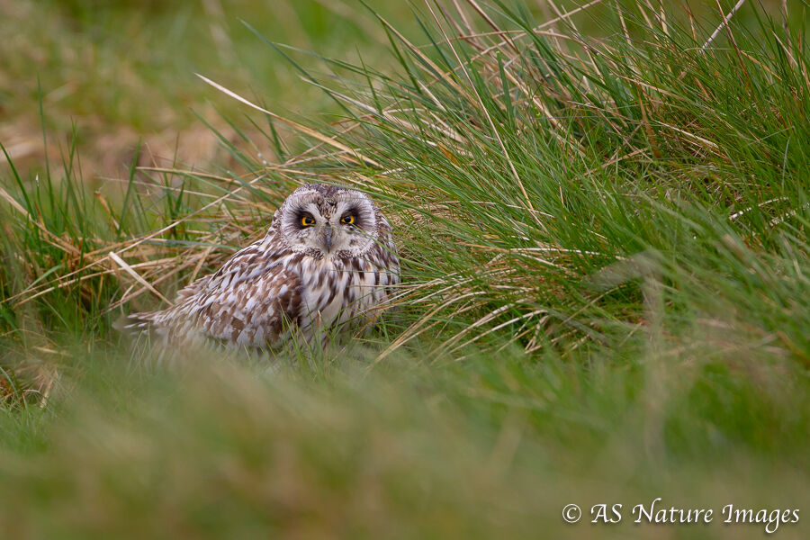 Short eared owl Roosting on the Ground