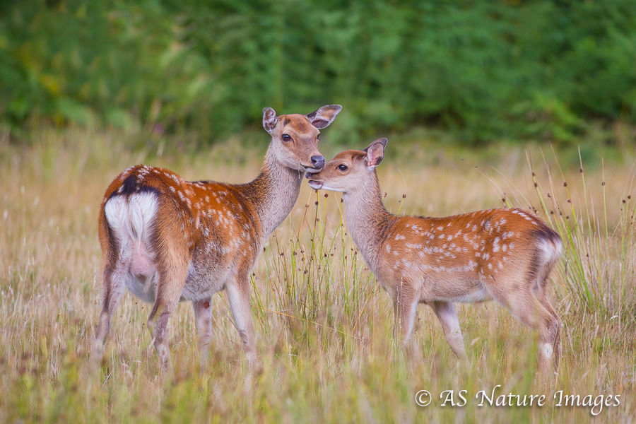 Sika Deer Hind & Calf Touching Heads