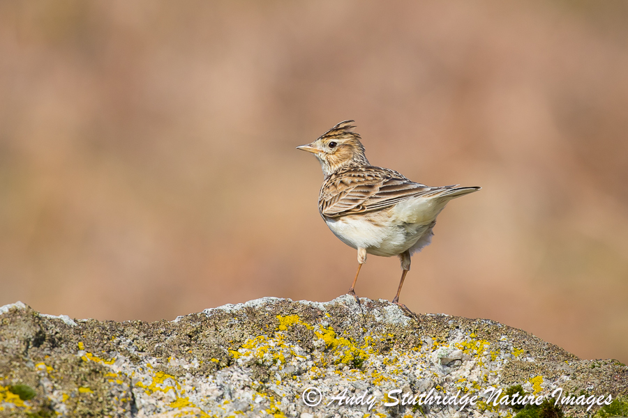 Skylark on Rock