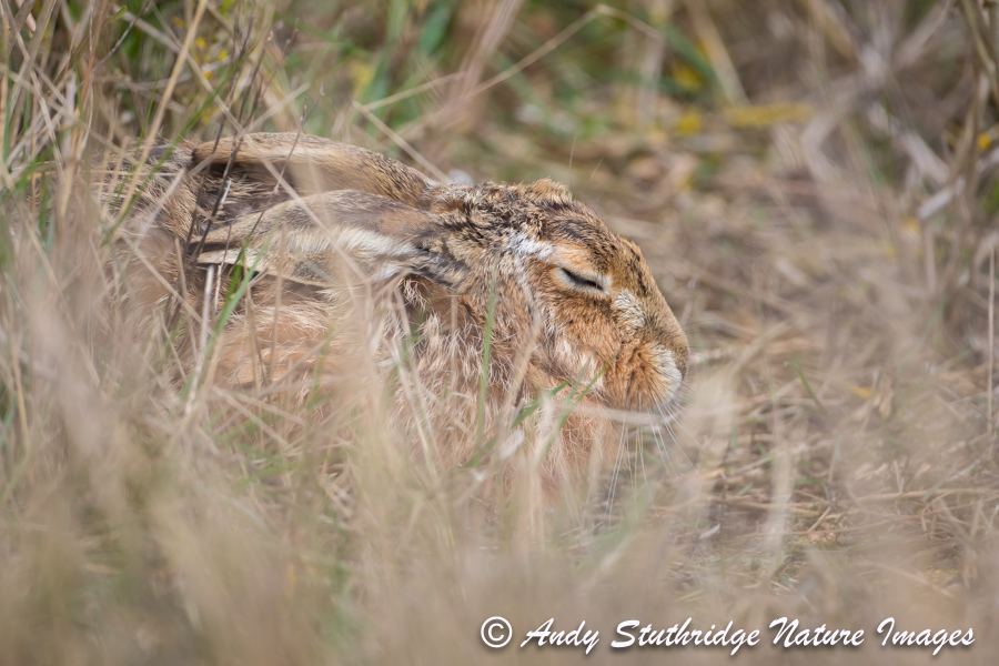 Sleeping Hare