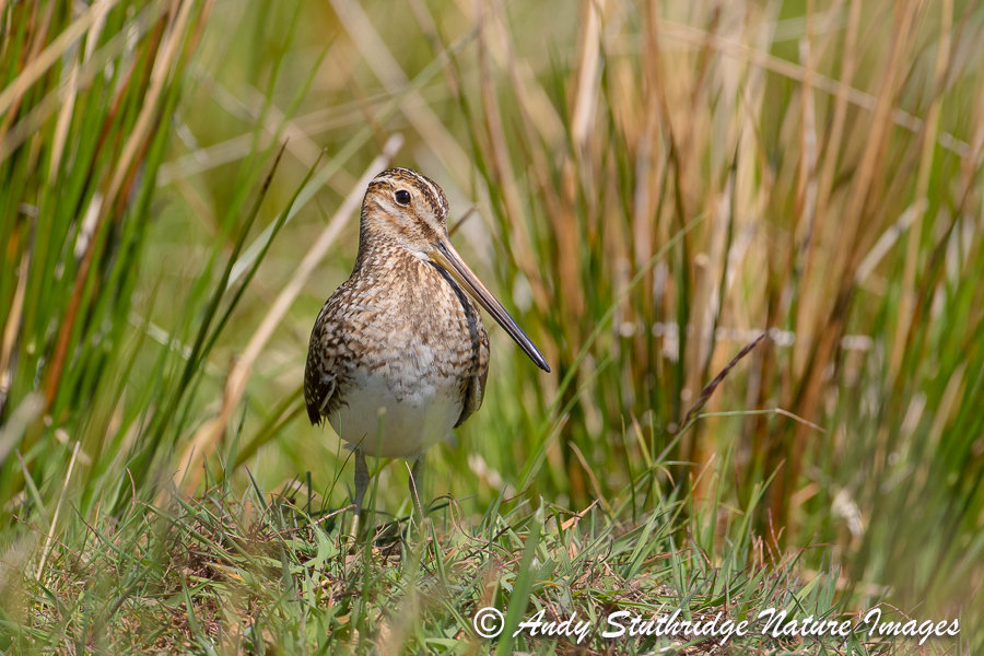 Snipe in Moorland Marsh