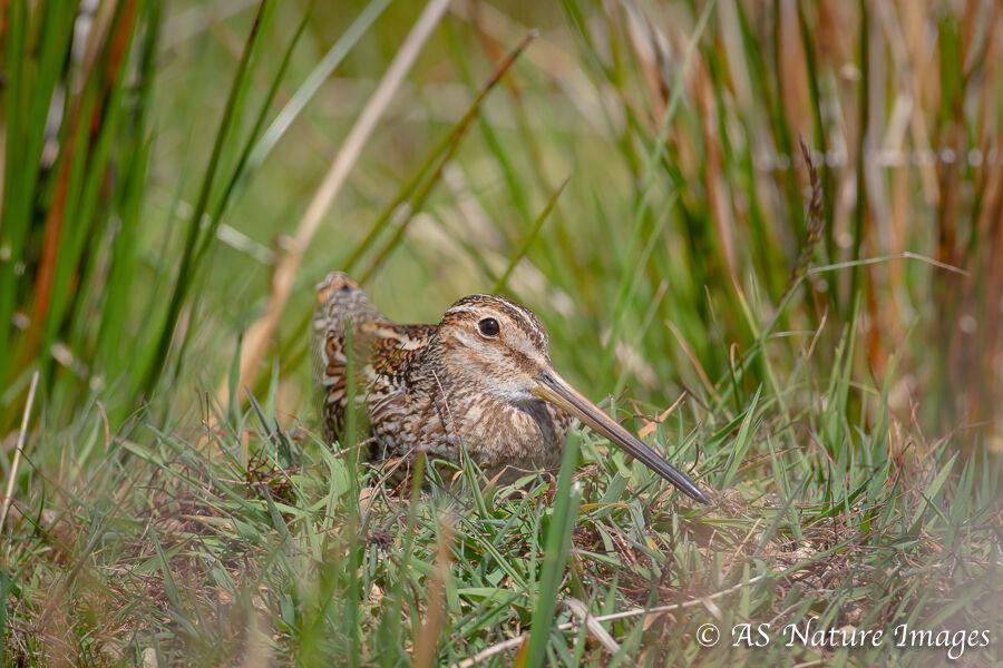 Snipe Lying in a Marsh
