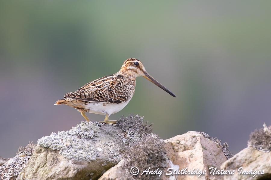 Snipe on Drystone Wall