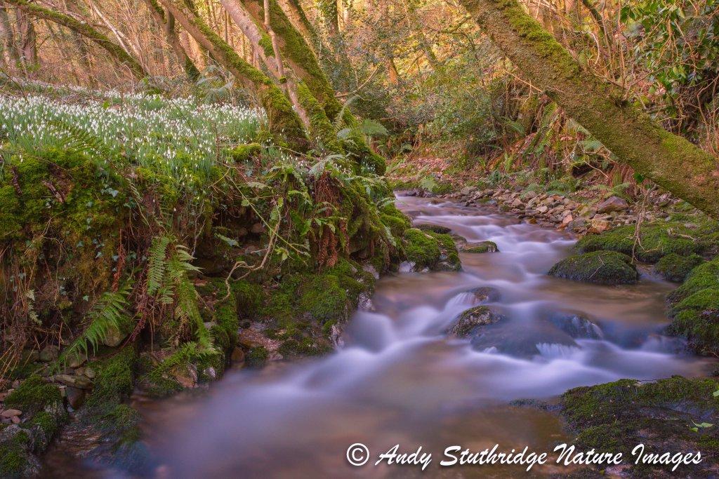 Snowdrop Valley,Exmoor