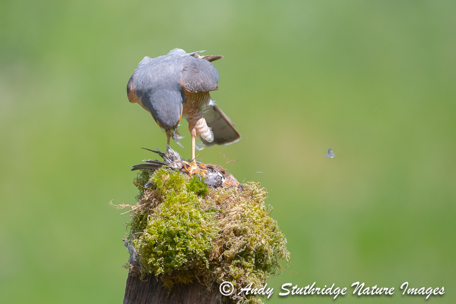 Male Sparrowhawk at Plucking Post