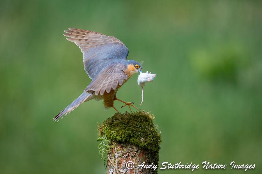 Sparrow Hawk with Bait
