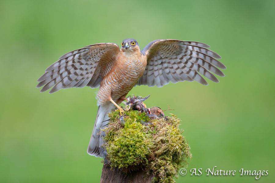 Sparrow Hawk with Prey