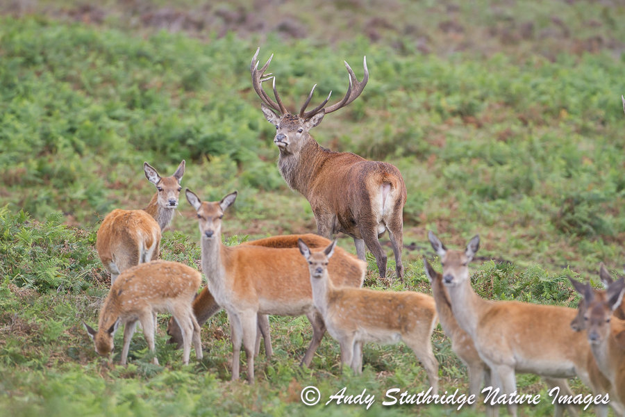 Stag,Hinds & Calves on Moorland