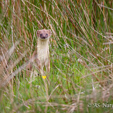 STOAT IN MEADOW
