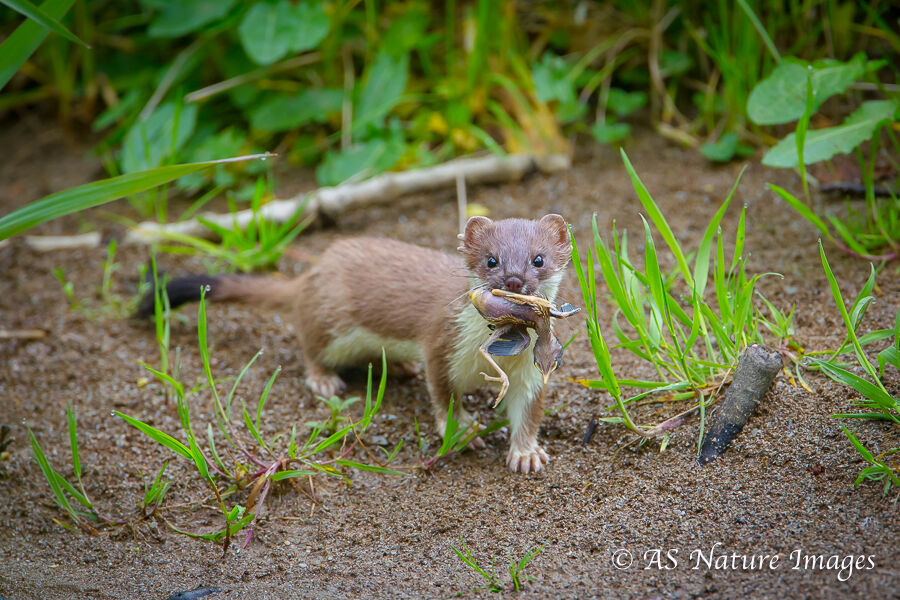 Stoat with Nestling