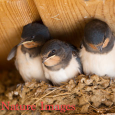 SWALLOW CHICKS IN NEST