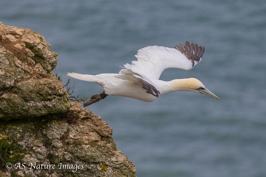 Gannet Taking - Off