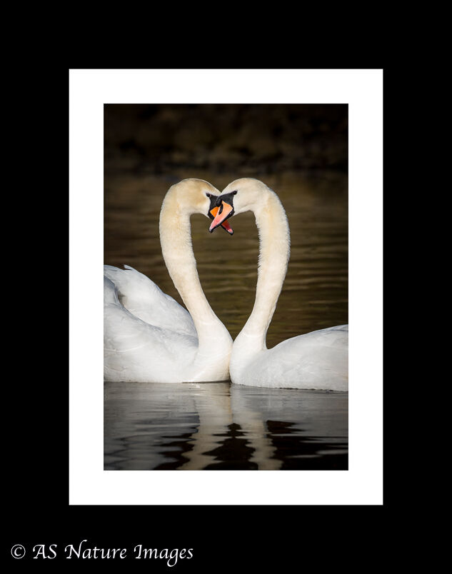 Swans in Love !