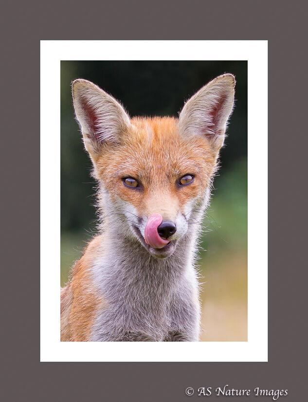 Fox Licking its Lips