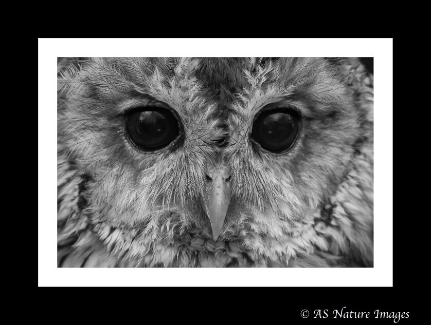 Tawny Owl Close-up in Black & White