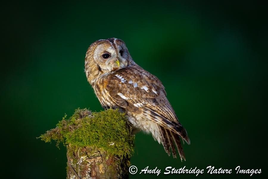 Tawny Owl on Post
