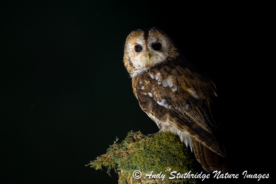 Tawny Owl in the Shadows