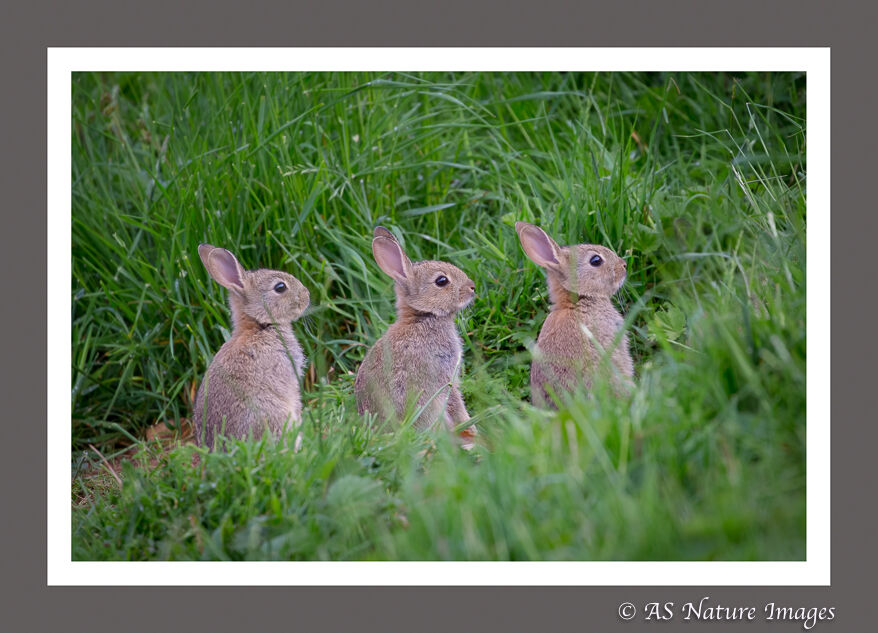 Three of a Kind -Baby Rabbits