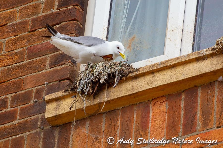 Town Centre Nesting Kittiwake