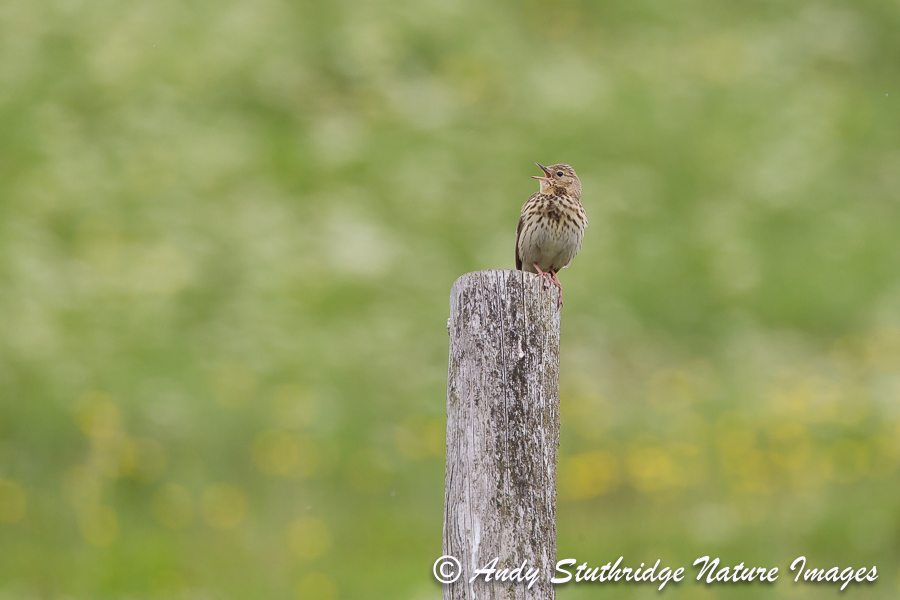 Tree Pipit inning from Fence Post