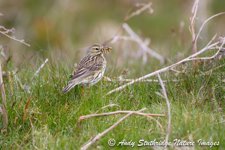 Tree Pipit with Food