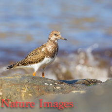 TURNSTONE ON SEASHORE