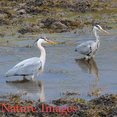 GREY HERON PAIR IN RIVER