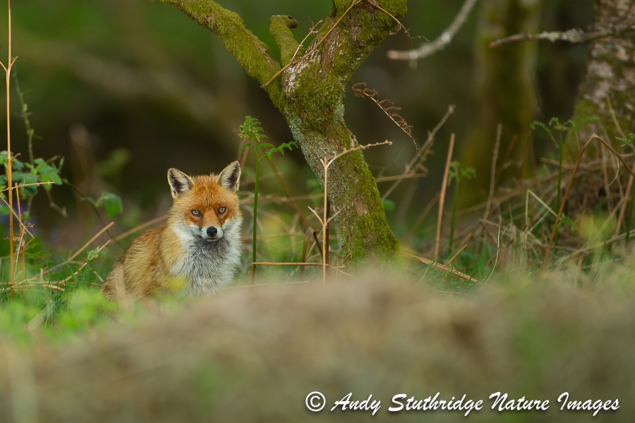 Watching Fox in Woodland