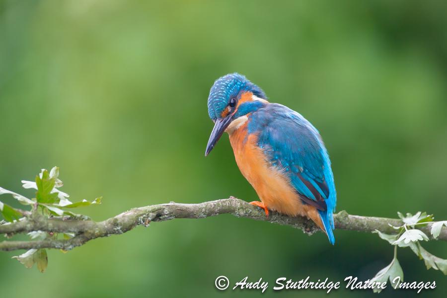 Watching You,Watching Me ! -Male Kingfisher