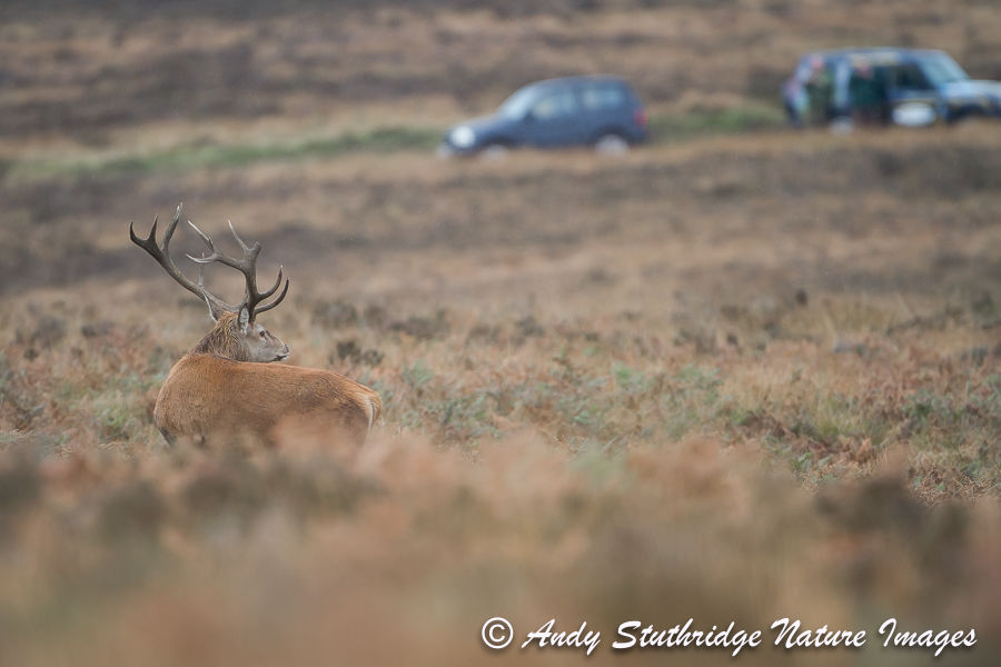 Watching You Watching Me..Exmoor Stag and onlookers