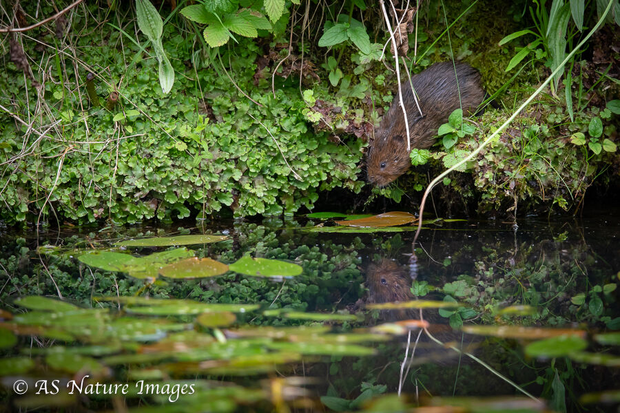 Water Vole Reflection