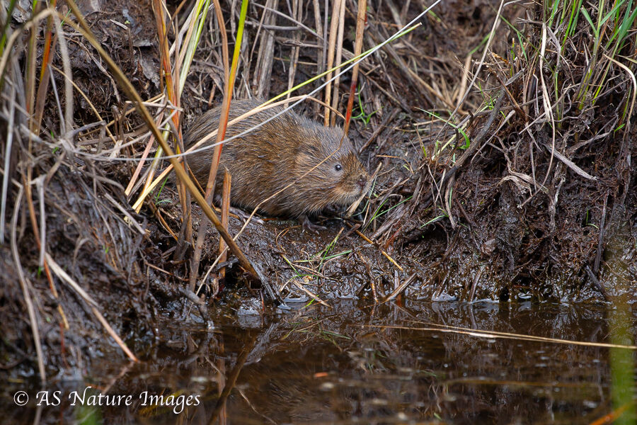 Water Vole on Riverbank